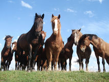 Horses on the pasture. Some pretty horses on the pasture Royalty Free Stock Image