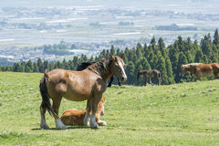 Horses on the pasture Royalty Free Stock Images
