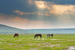 Horses grazing in pasture Royalty Free Stock Images