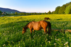 Horses in pasture at sunset Stock Photography