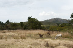 Horses in pasture on Trinidad countryside, Cuba Royalty Free Stock Images