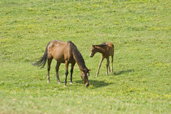 Horses in the pasture tuscany italy. Horse with baby in the pasture tuscany italy scenery Stock Photo
