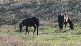 Horses in Pasture. Two brown  horses on meadow field stock video