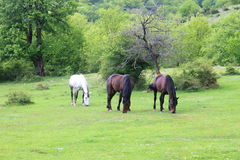 Horses at pasture Royalty Free Stock Image