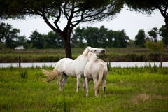 Horses on pasture. Two horses play on pasture on gray day Royalty Free Stock Image