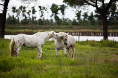 Horses on pasture. Two horses play on pasture on gray day Royalty Free Stock Images