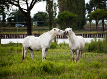 Horses on pasture. Two horses play on pasture on gray day Stock Image