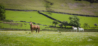 Horses at the pasture. Typical landscape in Lake District, Cumbria Royalty Free Stock Images