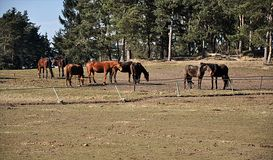 Horses in the pasture Stock Photography
