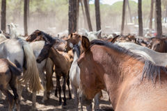 Horses on pasture after a walk. Royalty Free Stock Photography