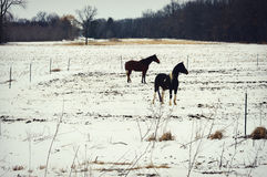 Horses, Pasture, Winter Stock Image