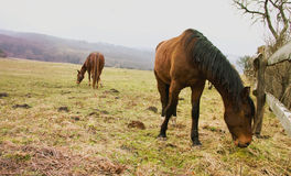 Horses on Pastures Stock Photos