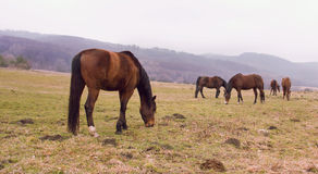 Horses on Pastures Stock Photography