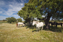 Horses in the pastures full of oak trees. Sunny spring day in Extremadura, Spain. Horses in the pastures full of oak trees and flowers. Sunny spring day in Royalty Free Stock Image