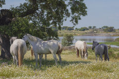 Horses in the pastures full of oak trees. Sunny spring day in Extremadura, Spain. Horses in the pastures full of oak trees and flowers. Sunny spring day in Stock Image