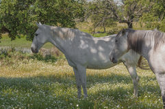Horses in the pastures full of oak trees. Sunny spring day in Extremadura, Spain Stock Images