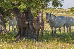 Horses in the pastures full of oak trees. Sunny spring day in Extremadura, Spain. Horses in the pastures full of oak trees and flowers. Sunny spring day in Royalty Free Stock Photography