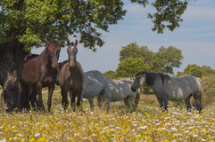 Horses in the pastures full of oak trees. Sunny spring day in Extremadura, Spain. Horses in the pastures full of oak trees and flowers. Sunny spring day in Stock Photos