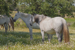 Horses in the pastures full of oak trees. Sunny spring day in Extremadura, Spain. Horses in the pastures full of oak trees and flowers. Sunny spring day in Royalty Free Stock Images