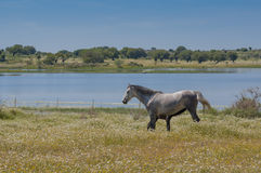 Horses in the pastures full of oak trees. Sunny spring day in Extremadura, Spain Stock Image