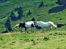 Horses on the pastures of the mountain slopes of Alvier. Canton of St. Gallen, Switzerland stock photo