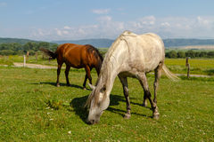 Horses. Pasturing in green meadow Royalty Free Stock Photos