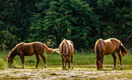 Horses. Pasturing in green meadow Stock Image