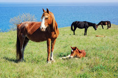 Horses pasturing on meadow near the sea Stock Photography
