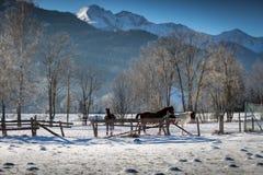 Horses pasturing in paddock at highland farm at snowy day Stock Photos