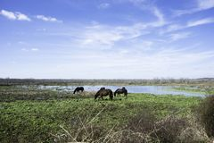 Horses at Paynes Prairie State Park Royalty Free Stock Photo