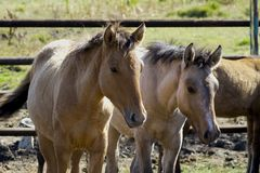 The horses are in the pen. Horses in a fenced space royalty free stock photography