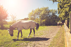 Horses in pen with quilts. Image of two horses in a pen, wearing fly masks and quilts Royalty Free Stock Photos