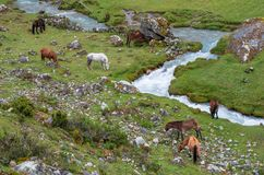 Horses in Peruvian Andes. South America stock photos