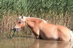 Horses pet equestrian sport Stock Photography