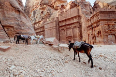 Horses in Petra Royalty Free Stock Photos