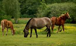 Horses with pheasant Royalty Free Stock Photography