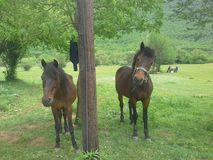 Horses. This is a photo i quickly snapped of two horsed at my camping spot Stock Photo