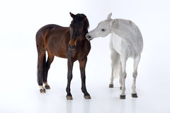 Horses  in photo studio Royalty Free Stock Photos