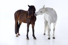 Horses  in photo studio Royalty Free Stock Photos