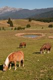 Horses at pian cansiglio Stock Image