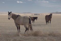 Horses of the Plains. Three horses stand in a field in the Heartland Stock Photo