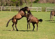 Horses at play Royalty Free Stock Photos