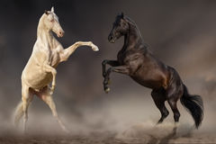 Horses play in desert Royalty Free Stock Photos