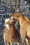 Horses play, fight and bite outside in meadow in winter. Horse ranking behavior