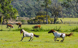 Horses play in paddock near Tenterfield, New South Wales, Australia. Royalty Free Stock Image