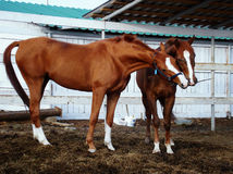 Horses play Royalty Free Stock Photography