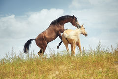 Horses playing Royalty Free Stock Images