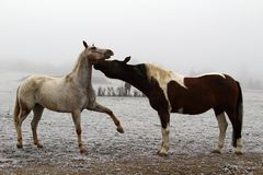 Horses playing with one another in a pasture Stock Photos