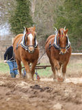 Horses Ploughing Royalty Free Stock Photo