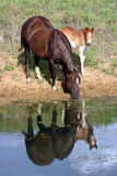 Horses at Pond. Liver chestnut mare on sloping bank of pond, drinking water, her foal beside her, images reflected in the water Royalty Free Stock Photo